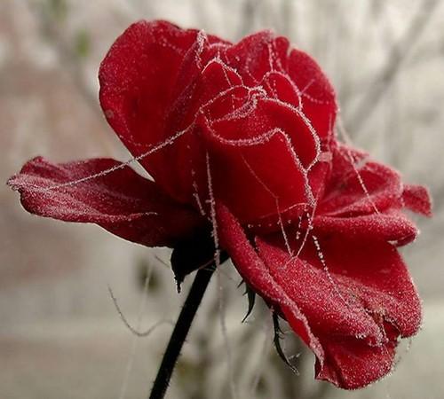 roses  serie